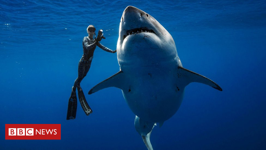 Divers swim with one of biggest great white sharks off Hawaii - BBC News